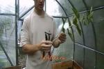 Как размножить черную смородину?