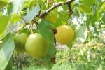 саженцы плодовых, ягодных и декоративных культур